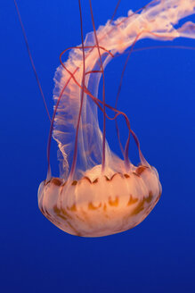 Sea nettle jellyfish, Chrysaora fuscescens scyphozoa, in a water tank, underwater, with long tentacles. - MINF02069