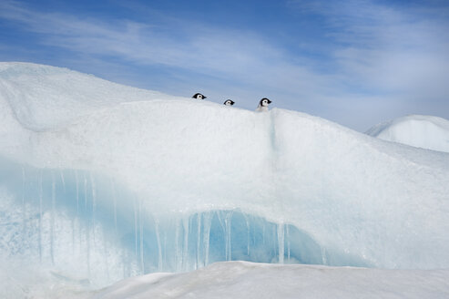 Three penguin chicks, in a row, heads seen peering over a snowdrift or ridge in the ice on Snow Hill island. - MINF02112
