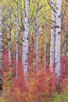 A forest of aspen trees in the Wasatch mountains, with striking yellow and red autumn foliage. - MINF02145
