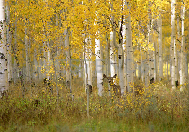 Autumn in Uinta national forest. A deer in the aspen trees. - MINF02205 - Mint Images/Westend61