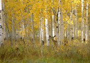 Autumn in Uinta national forest. A deer in the aspen trees. - MINF02205