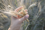 Woman's hand touching wheat ears - KMKF00426