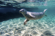 Seal swimming underwater - ISF17474