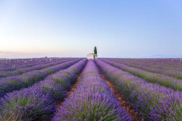 France, Alpes-de-Haute-Provence, Valensole, lavender field - RPSF00201