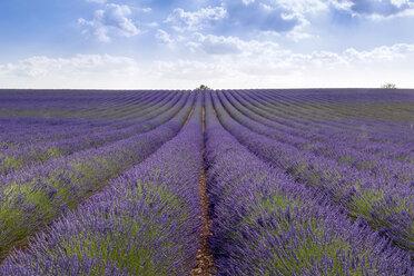 France, Alpes-de-Haute-Provence, Valensole, lavender field - RPSF00204