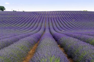 France, Alpes-de-Haute-Provence, Valensole, lavender field - RPSF00207