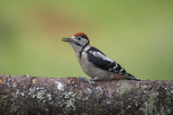 Great spotted woodpecker perching on tree trunk - MJOF01518