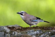 Portrait of Eurasian jay on tree trunk - MJOF01527