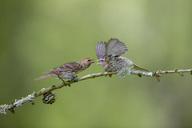 Common redpoll and fledgling perching on twig - MJOF01530