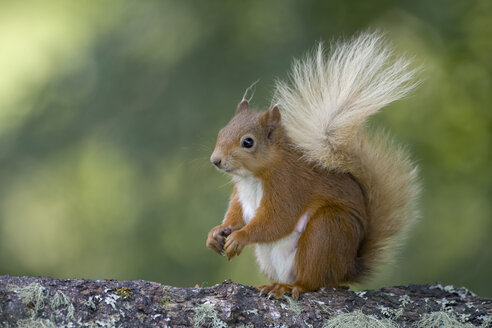 Portrait of Eurasian red squirrel - MJOF01533