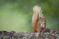 Portrait of Eurasian red squirrel  on tree trunk - MJOF01536