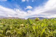 Spain, Andalucia, Zaffaraya valley, field of Globe Artichoke - SMAF01098