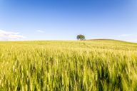 Spain, Andalucia, fields of barley near to Alhama de Granada - SMAF01110