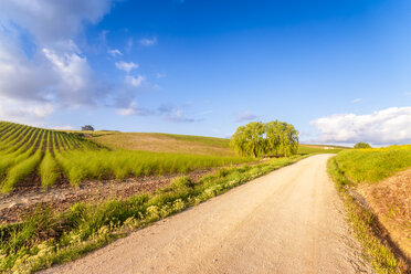 Spain, Andalucia, unnamed road leading to Alhama de Granada with field of Asparagus - SMAF01113