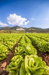 Spain, Andalucia, Zaffaraya valley, field of Lettuce - SMAF01119