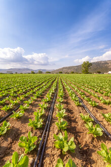 Spain, Andalucia, Zaffaraya valley, field of Lettuce - SMAF01122