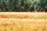 Spain, Andalucia, Fuente De Piedra, field of Barley and Poppy - SMAF01134