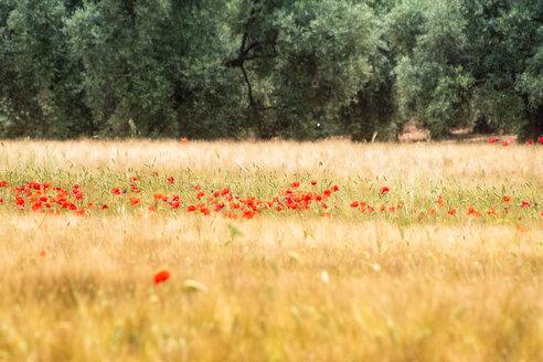 Spain, Andalucia, Fuente De Piedra, field of Barley and Poppy - SMAF01134