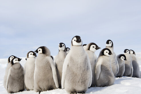 A nursery group of Emperor penguin chicks, huddled together, looking around.  A breeding colony. - MINF02930