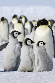A group of emperor penguins standing on the ice on Snow Hill Island. - MINF02933