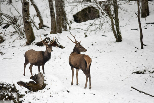 Germany, Berchtesgaden, two red stags in winter - ZCF00638