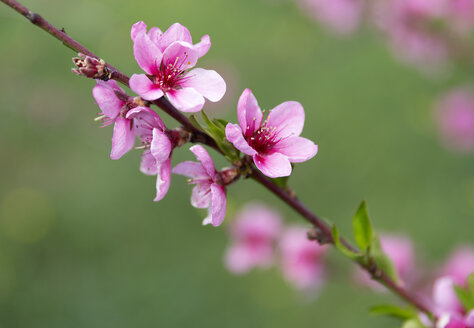 Peach blossoms, Prunus persica, close-up - MABF00481