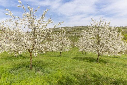 Rumania,Transylvania, flowering cherry trees - MABF00484
