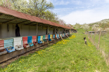 Rumania, Ciresoaia, beehives at flowering cherry trees - MABF00494