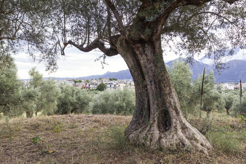 Greece, Peloponnese, Laconia, Sparta, olive tree, city in the background - MAMF00172