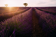 France, Alpes-de-Haute-Provence, Valensole, lavender field at sunset - GEMF02216
