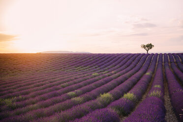 France, Alpes-de-Haute-Provence, Valensole, lavender field at sunset - GEMF02237