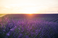 France, Alpes-de-Haute-Provence, Valensole, lavender blossom on field at sunset - GEMF02240