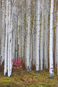 Fall colours in the Wasatch Mountains, aspen trees with pale bark and straight trunks. - MINF03033