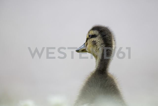 Back view of duckling - MJOF01540