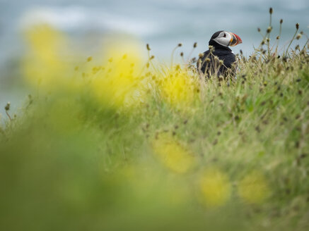 A puffin on the cliffs of Dyrholaey. - MINF03093