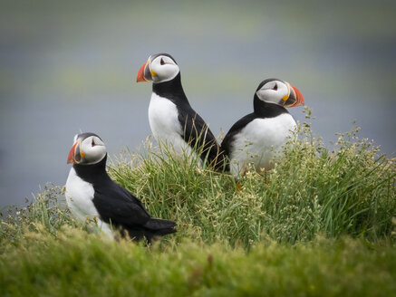 Three puffin birds in the grass on the cliffs of Dyrholaey. - MINF03096