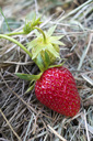 Germany, ripe red strawberry, mulched - NDF00769