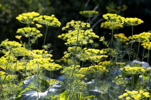Dill, Anetum Graveolens and zucchini plants - NDF00775