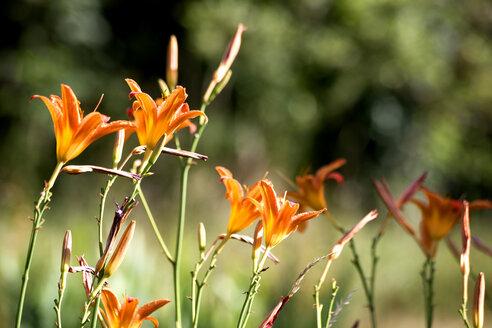 Fire lily, Lilium Bulbiferum - NDF00778