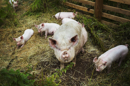 Pigs raised in free range open air conditions on a farm. - MINF03898