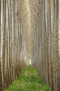 Rows of commercially grown poplar trees. - MINF04381