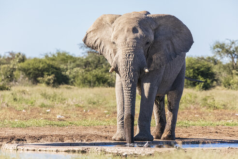 Namibia, Etosha National Park, African Elephant at waterhole - FOF09974