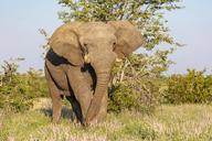 Namibia, Etosha National Park, African Elephant - FOF09977