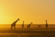 Africa, Namibia, Etosha National Park, Giraffes at sunset, Giraffa camelopardalis - FOF09979