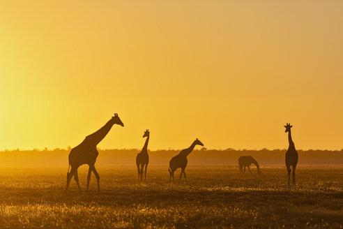 Africa, Namibia, Etosha National Park, Giraffes at sunset, Giraffa camelopardalis - FOF09979