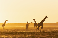 Africa, Namibia, Etosha National Park, Giraffes at sunset, Giraffa camelopardalis - FOF09982