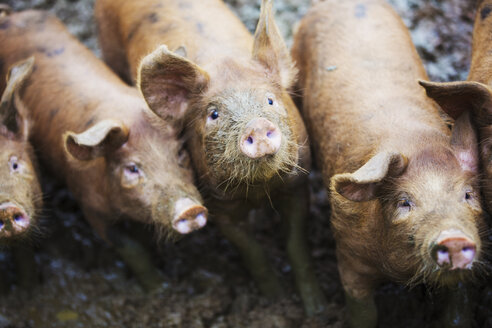 A group of pigs in a muddy field. - MINF04664