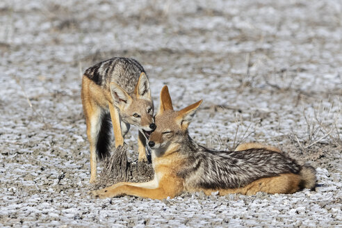 Namibia, Etosha National Park, two Black-backed Jackals - FOF09995