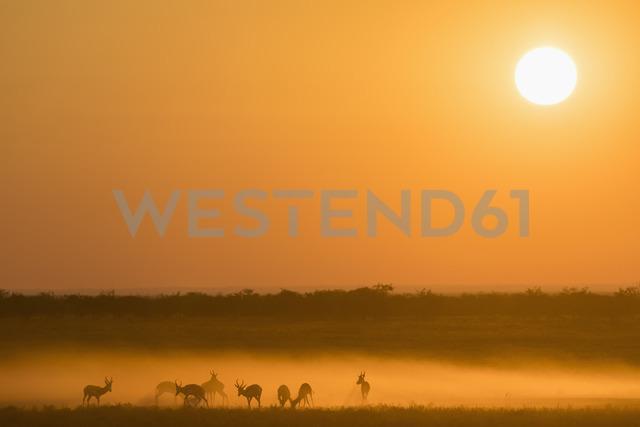 Africa, Namibia, Etosha National Park, Springboks, Antidorcas marsupialis, at sunset - FOF10001