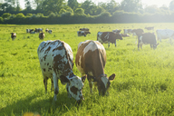 A herd of cows grazing in a field. - MINF06474